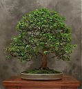 chinese_elm14-bonsai.jpg