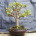 jade11-bonsai.jpg